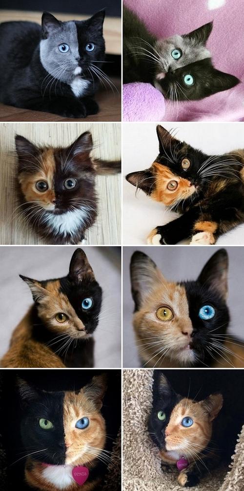 bigatti gatti chimera