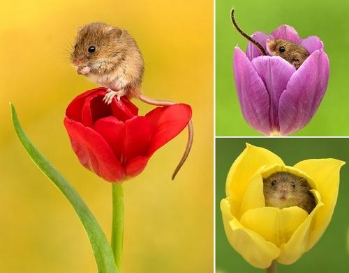topi tulipani miles herbert